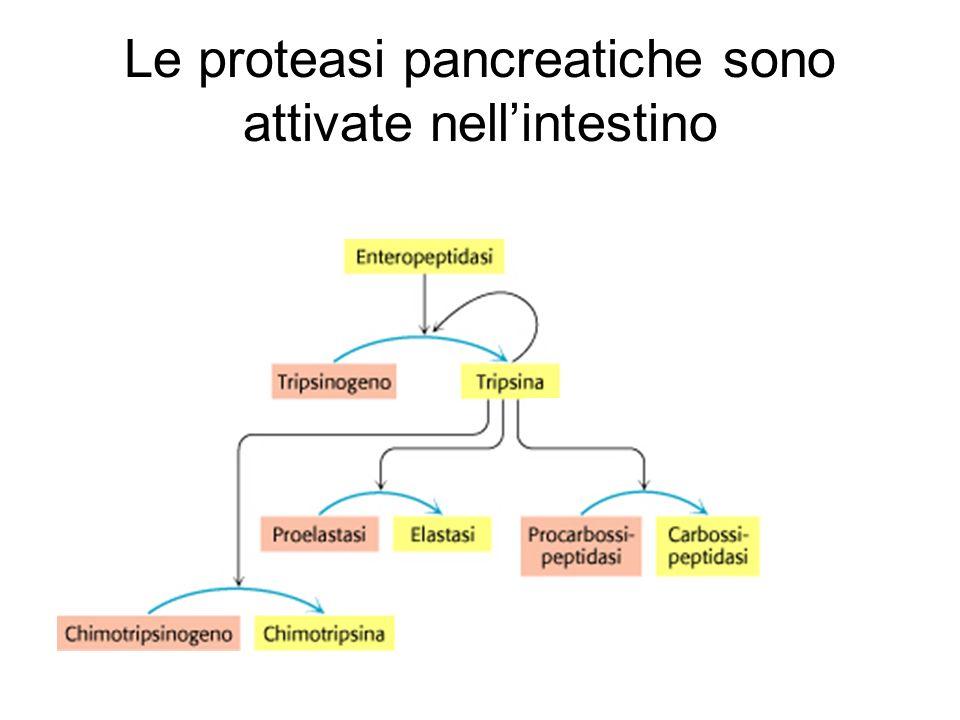 Le proteasi pancreatiche sono attivate nell'intestino
