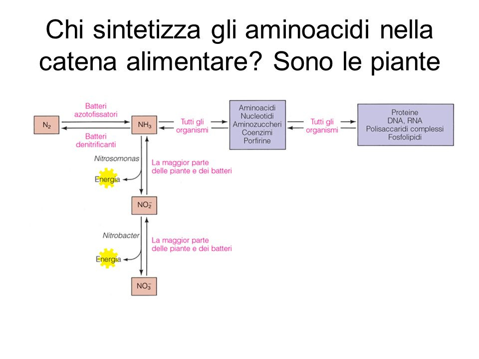 Chi sintetizza gli aminoacidi nella catena alimentare Sono le piante