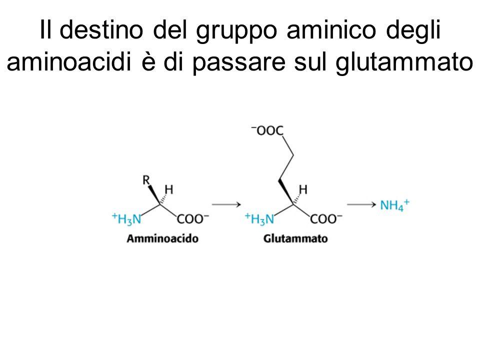 Il destino del gruppo aminico degli aminoacidi è di passare sul glutammato
