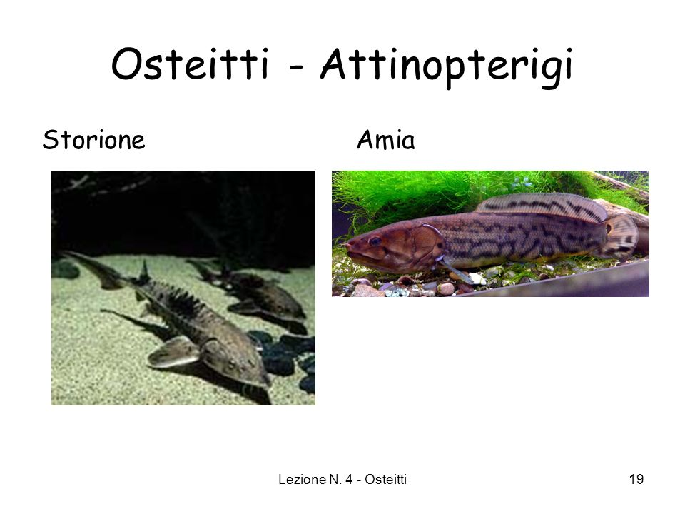 Osteitti - Attinopterigi