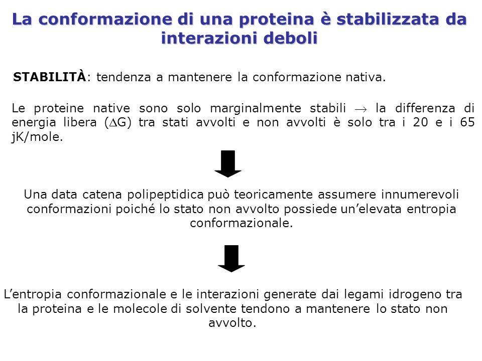 La conformazione di una proteina è stabilizzata da interazioni deboli