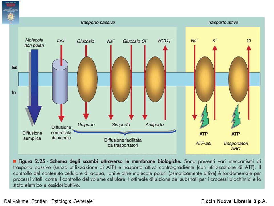Figura 2.25 - Schema degli scambi attraverso le membrane biologiche.