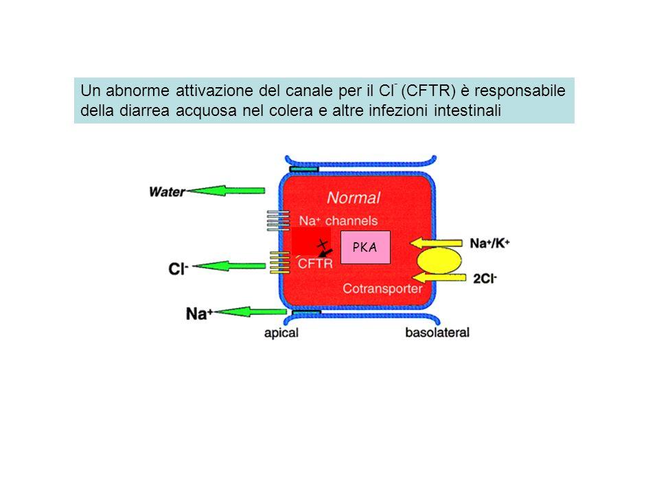 + Un abnorme attivazione del canale per il Cl- (CFTR) è responsabile