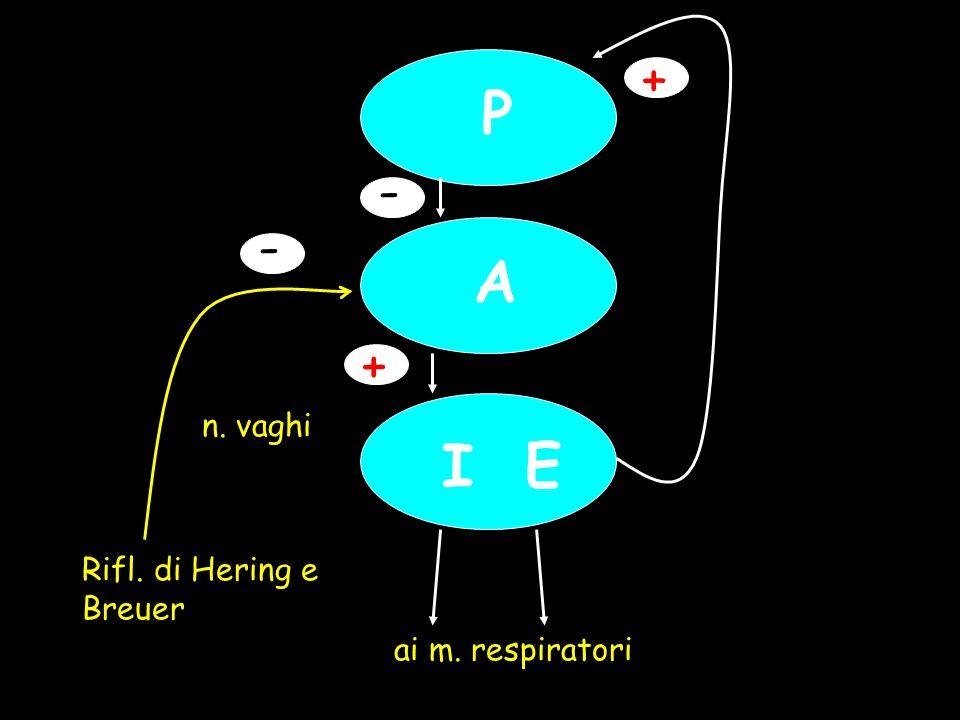 + P - n. vaghi - Rifl. di Hering e Breuer A + I E ai m. respiratori