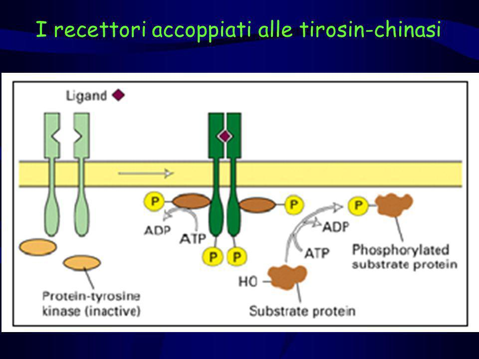 I recettori accoppiati alle tirosin-chinasi