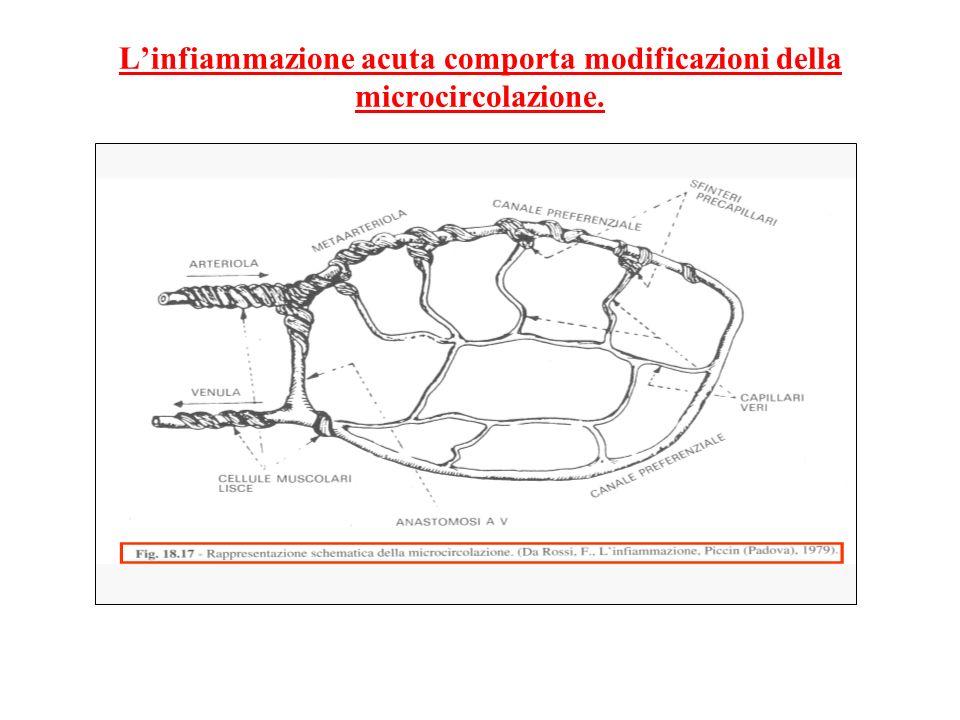 L'infiammazione acuta comporta modificazioni della microcircolazione.