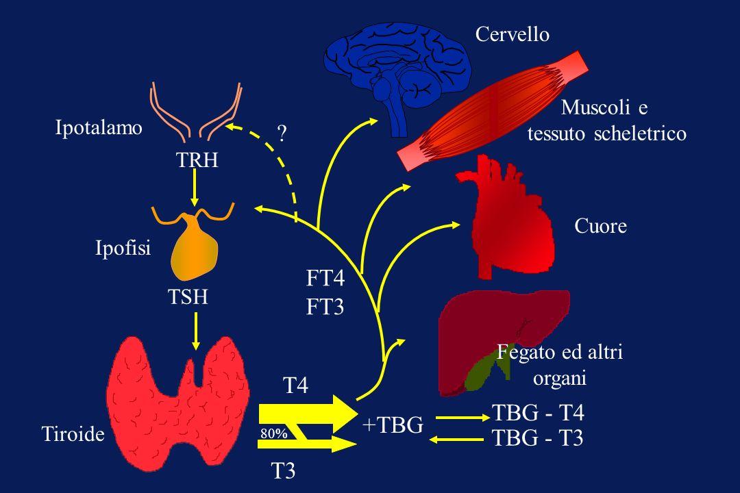 FT4 FT3 T4 TBG - T4 +TBG TBG - T3 T3 Cervello Muscoli e