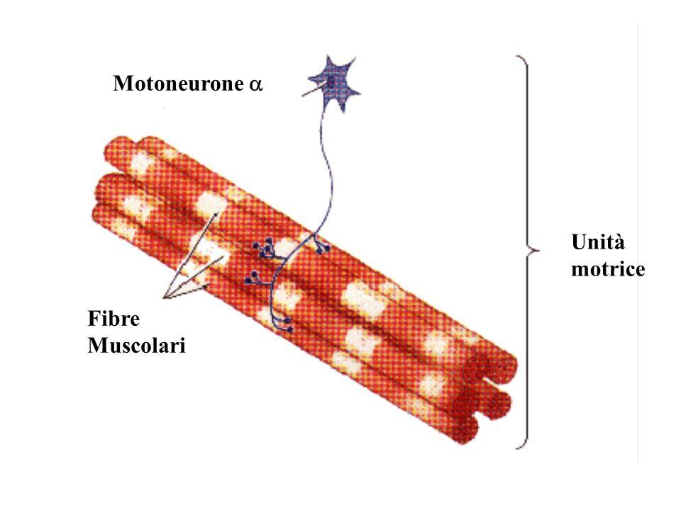 Motoneurone a Fibre Muscolari Unità motrice 1