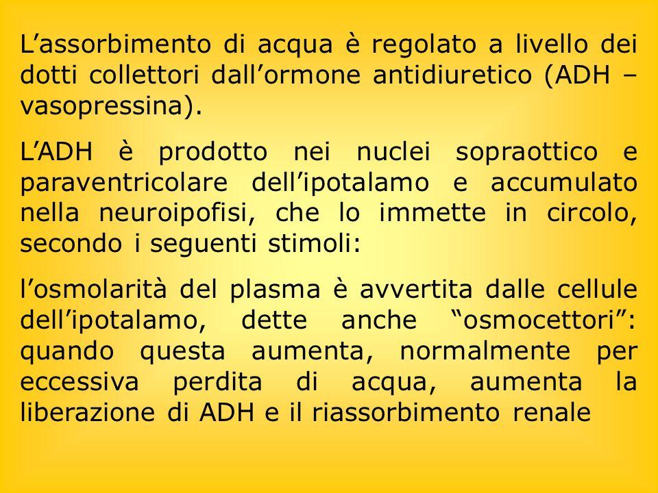 L'assorbimento di acqua è regolato a livello dei dotti collettori dall'ormone antidiuretico (ADH – vasopressina).