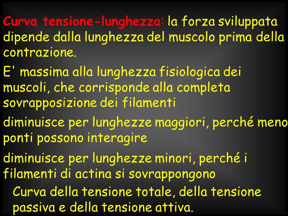 Curva tensione-lunghezza: la forza sviluppata dipende dalla lunghezza del muscolo prima della contrazione.