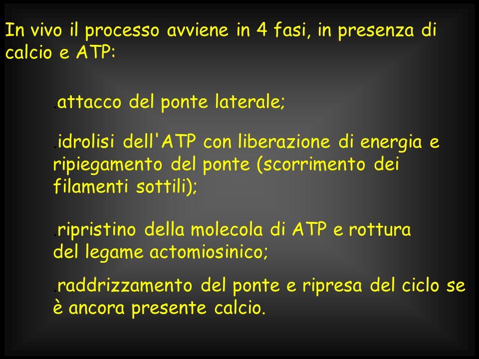 In vivo il processo avviene in 4 fasi, in presenza di calcio e ATP: