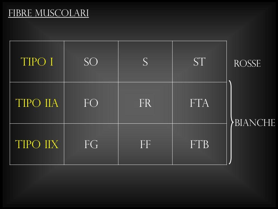 Tipo I SO S ST Tipo IIa FO FR FTa Tipo IIx FG FF FTb Fibre muscolari