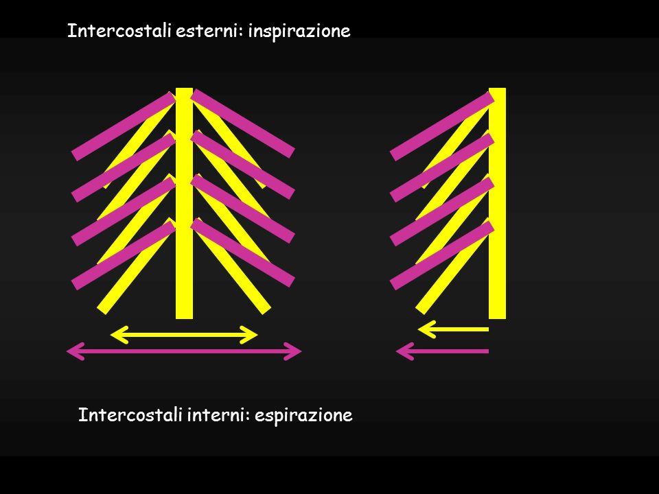 Intercostali esterni: inspirazione
