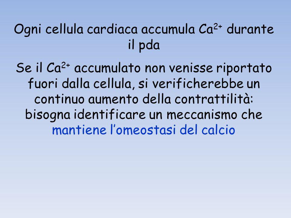 Ogni cellula cardiaca accumula Ca2+ durante il pda