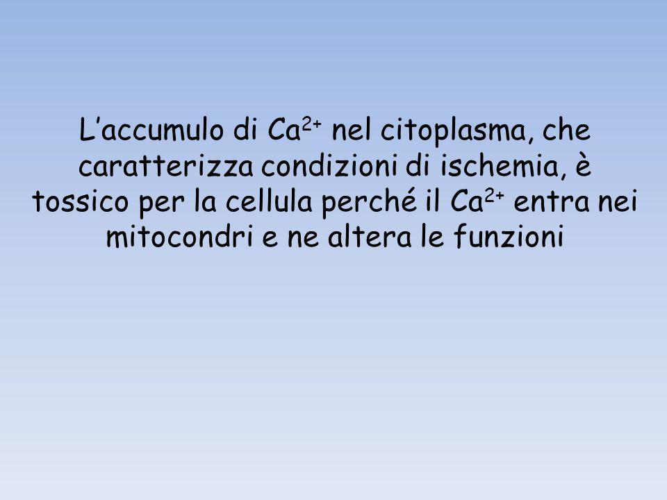 L'accumulo di Ca2+ nel citoplasma, che caratterizza condizioni di ischemia, è tossico per la cellula perché il Ca2+ entra nei mitocondri e ne altera le funzioni