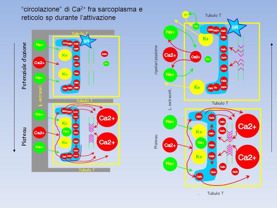 circolazione di Ca2+ fra sarcoplasma e reticolo sp durante l'attivazione