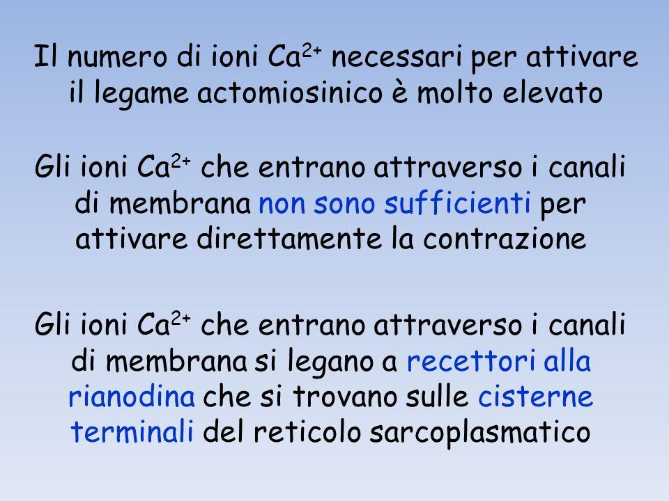 Il numero di ioni Ca2+ necessari per attivare il legame actomiosinico è molto elevato