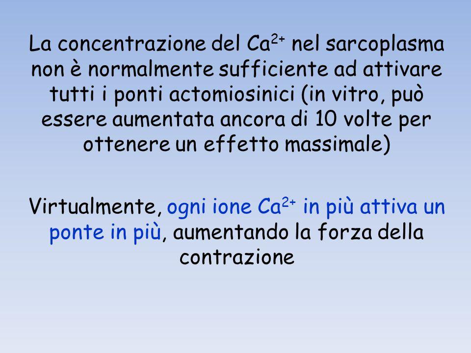 La concentrazione del Ca2+ nel sarcoplasma non è normalmente sufficiente ad attivare tutti i ponti actomiosinici (in vitro, può essere aumentata ancora di 10 volte per ottenere un effetto massimale)