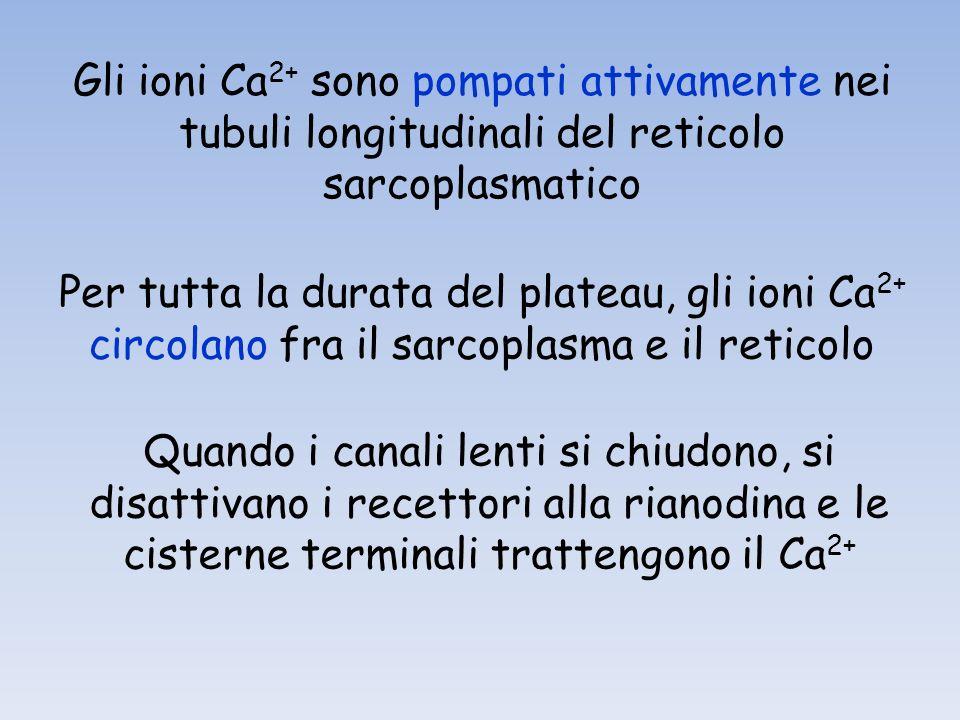 Gli ioni Ca2+ sono pompati attivamente nei tubuli longitudinali del reticolo sarcoplasmatico