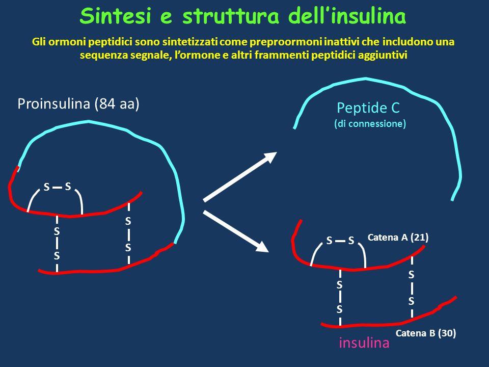 Sintesi e struttura dell'insulina
