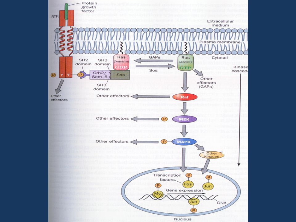 Cell Signaling via RTK and Ras Cell signaling via RTK e RAS