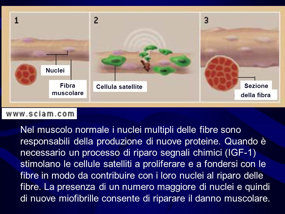 Fibra muscolareNuclei. Cellula satellite. Sezione. della fibra.