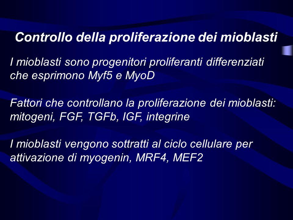 Controllo della proliferazione dei mioblasti