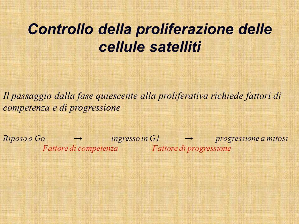 Controllo della proliferazione delle cellule satelliti