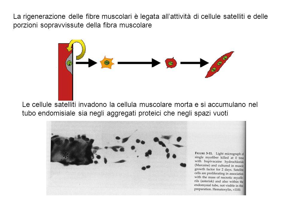 La rigenerazione delle fibre muscolari è legata all'attività di cellule satelliti e delle porzioni sopravvissute della fibra muscolare