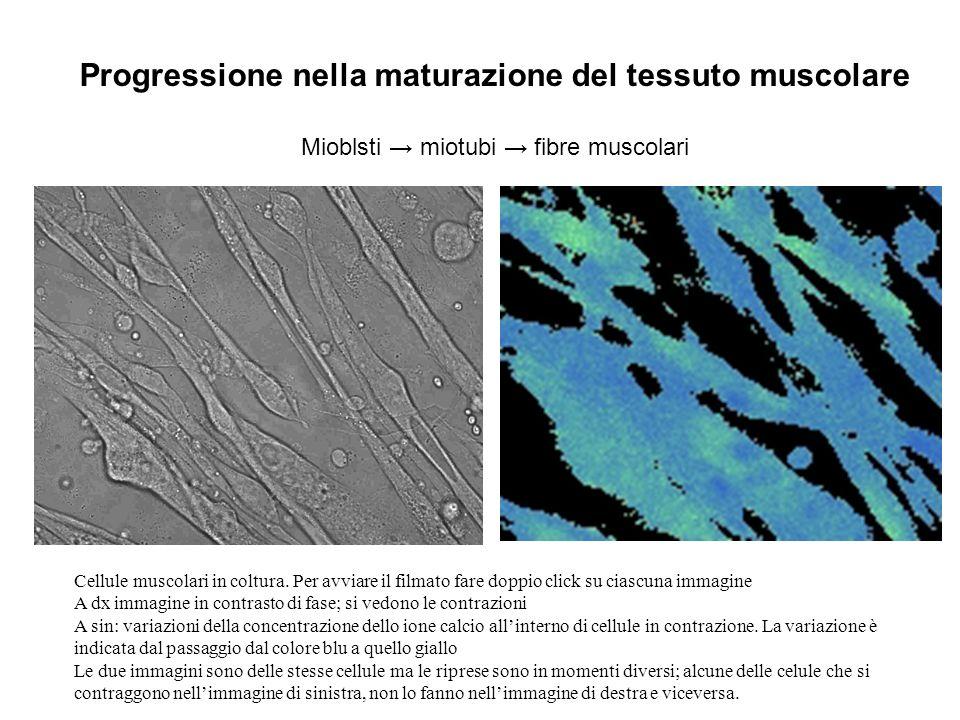 Progressione nella maturazione del tessuto muscolare