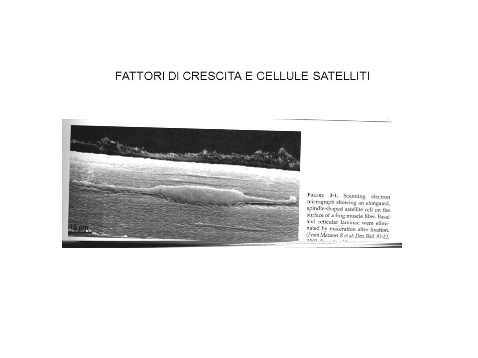 FATTORI DI CRESCITA E CELLULE SATELLITI