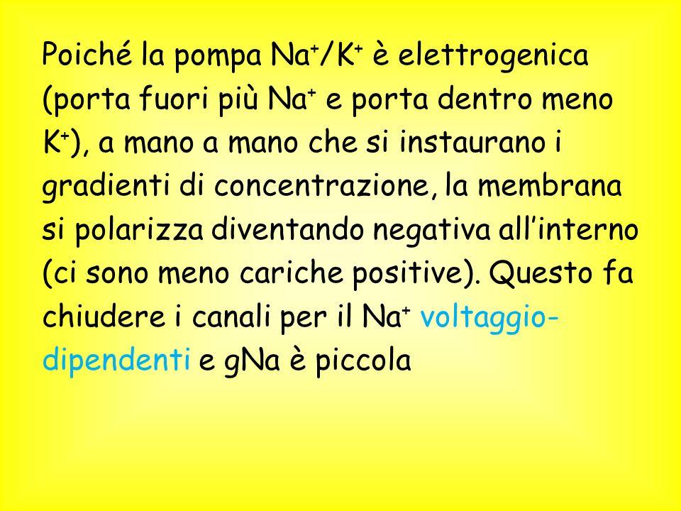 Poiché la pompa Na+/K+ è elettrogenica (porta fuori più Na+ e porta dentro meno K+), a mano a mano che si instaurano i gradienti di concentrazione, la membrana si polarizza diventando negativa all'interno (ci sono meno cariche positive).
