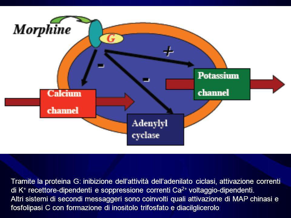 Tramite la proteina G: inibizione dell'attività dell'adenilato ciclasi, attivazione correnti