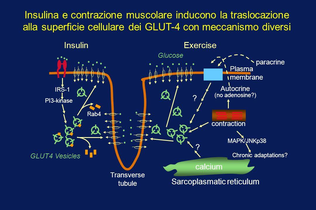 Insulina e contrazione muscolare inducono la traslocazione alla superficie cellulare dei GLUT-4 con meccanismo diversi