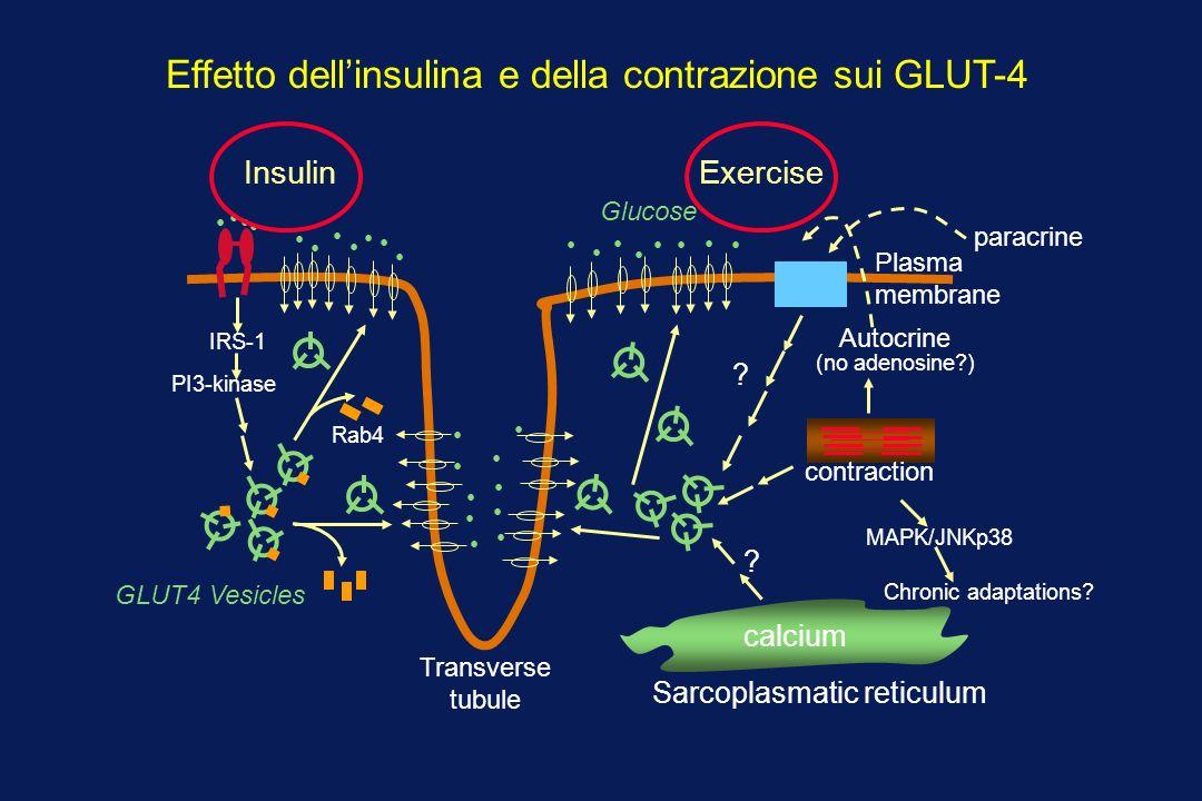 Effetto dell'insulina e della contrazione sui GLUT-4