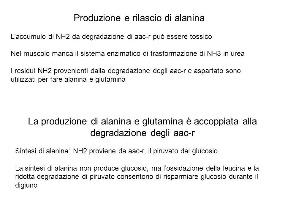 Produzione e rilascio di alanina