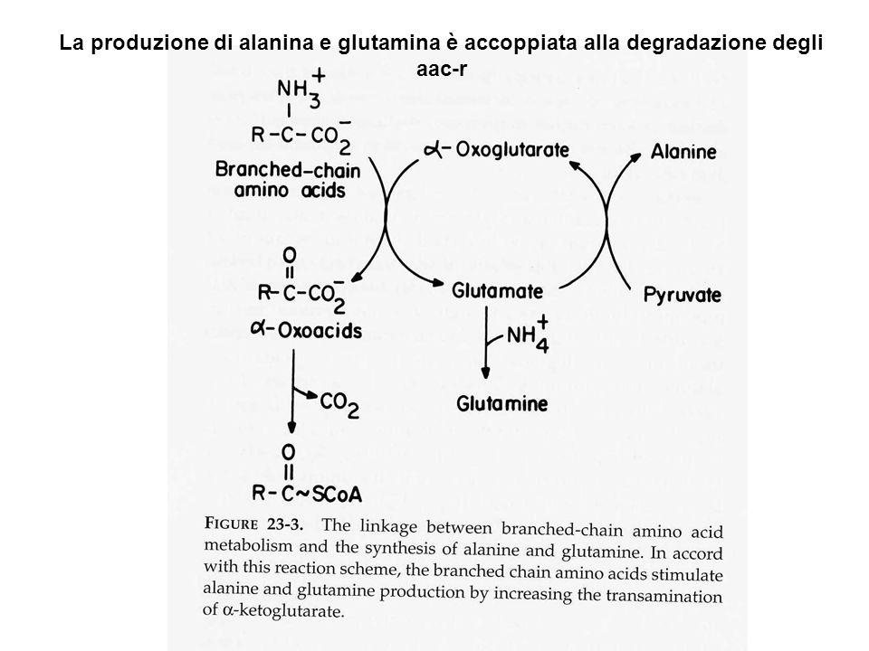 La produzione di alanina e glutamina è accoppiata alla degradazione degli aac-r