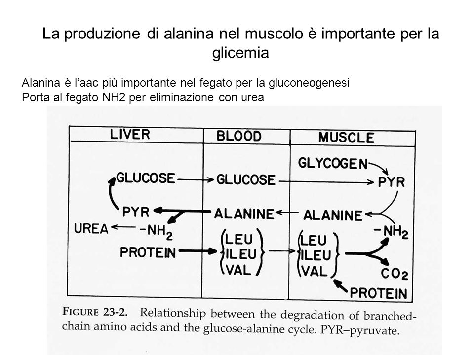 La produzione di alanina nel muscolo è importante per la glicemia