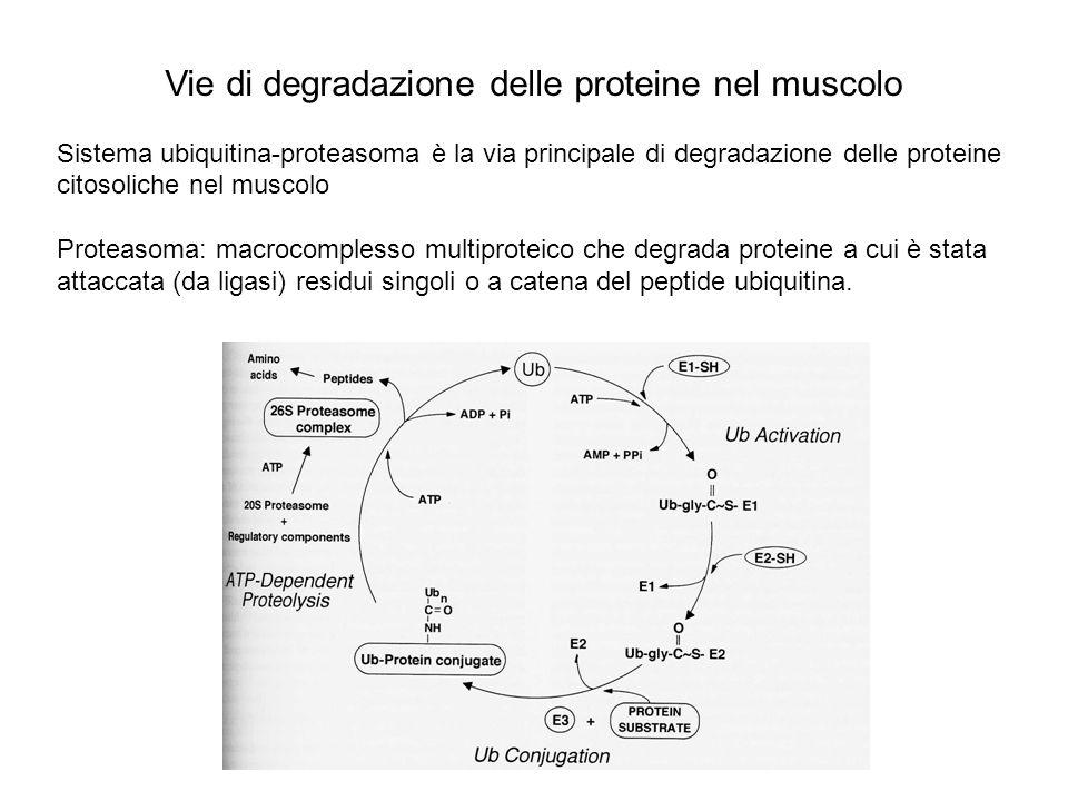 Vie di degradazione delle proteine nel muscolo