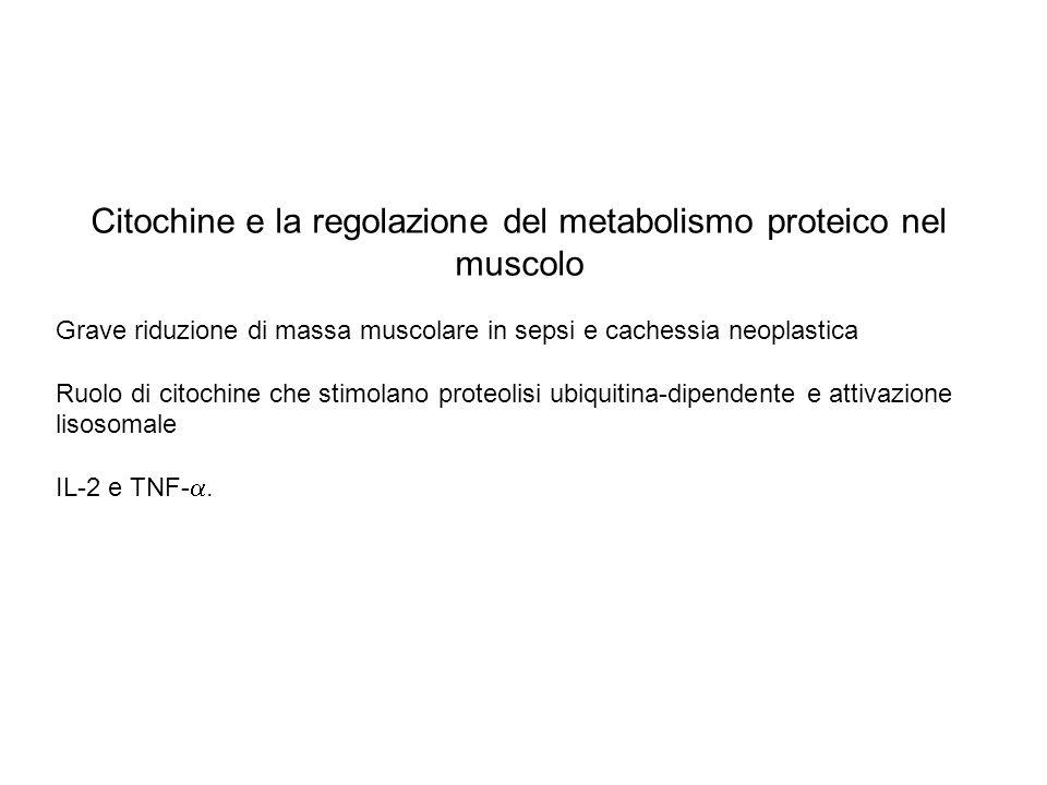 Citochine e la regolazione del metabolismo proteico nel muscolo