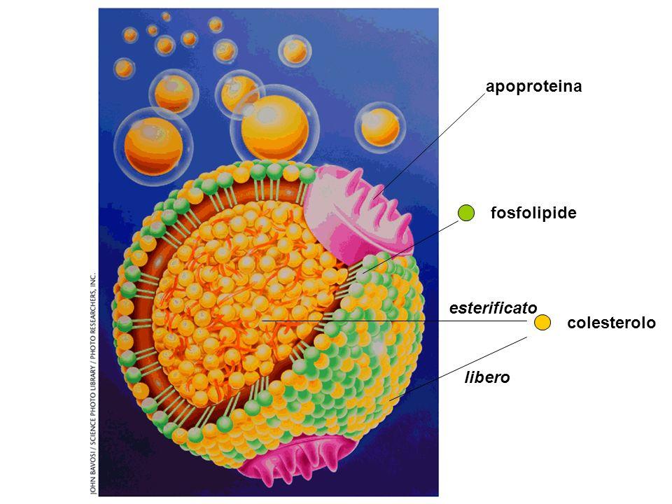 apoproteina fosfolipide colesterolo libero esterificato