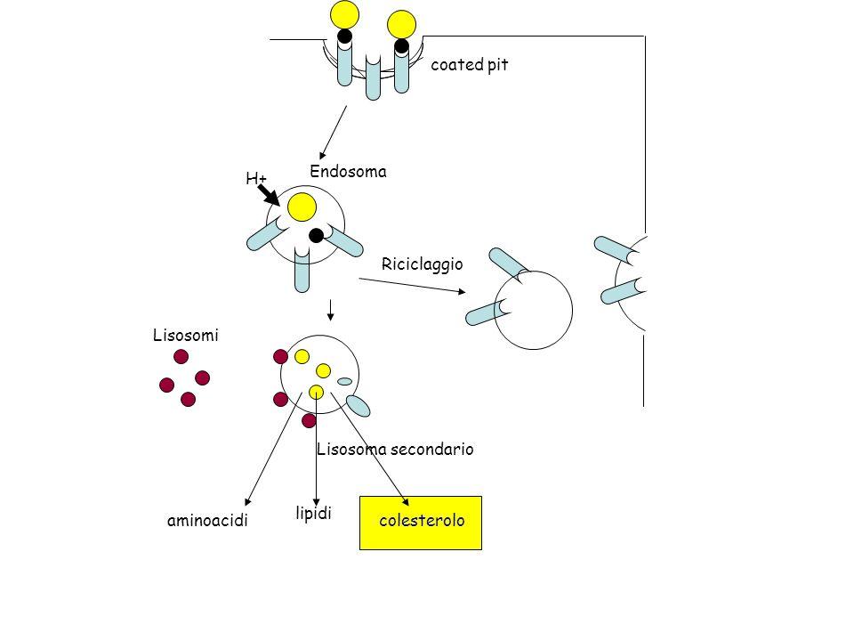 coated pit Endosoma H+ Riciclaggio Lisosomi Lisosoma secondario lipidi aminoacidi colesterolo
