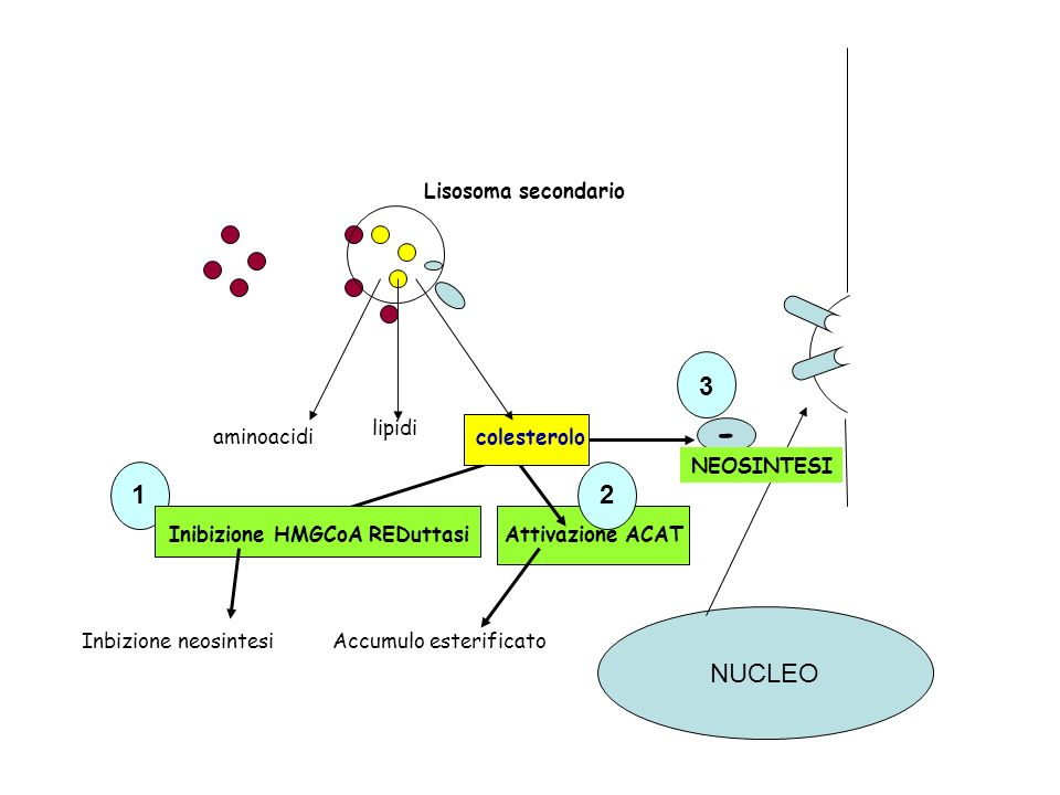 - 3 2 1 NUCLEO Lisosoma secondario aminoacidi lipidi colesterolo