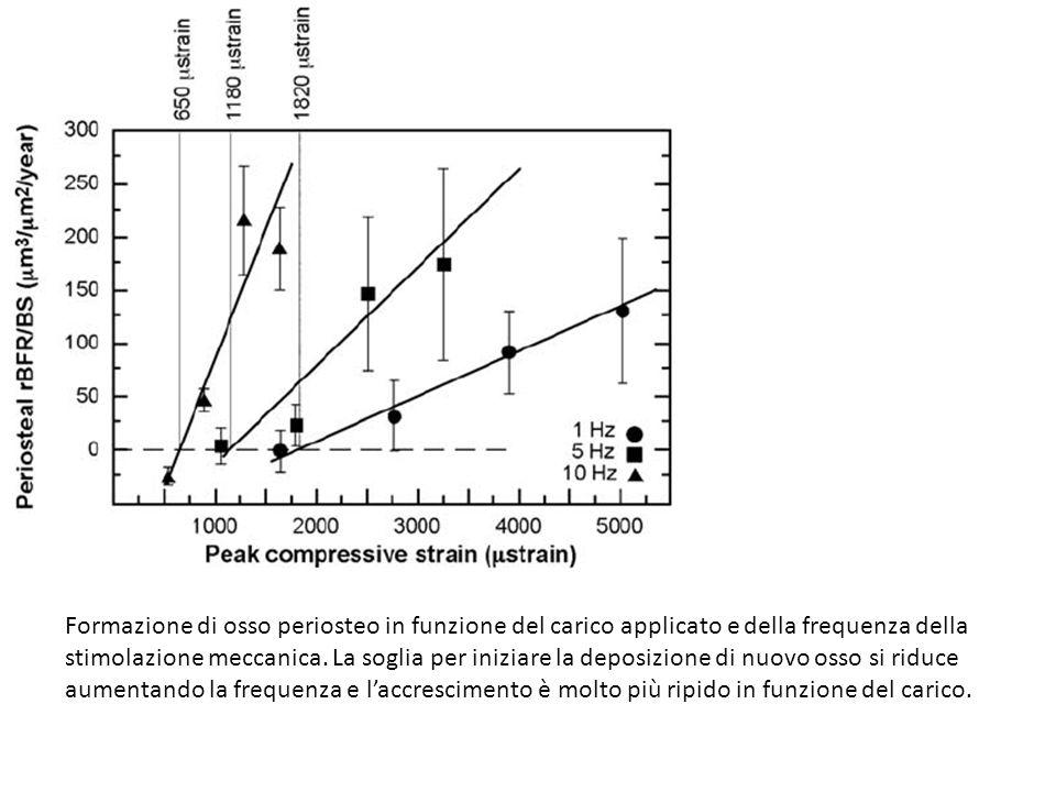 Formazione di osso periosteo in funzione del carico applicato e della frequenza della stimolazione meccanica.