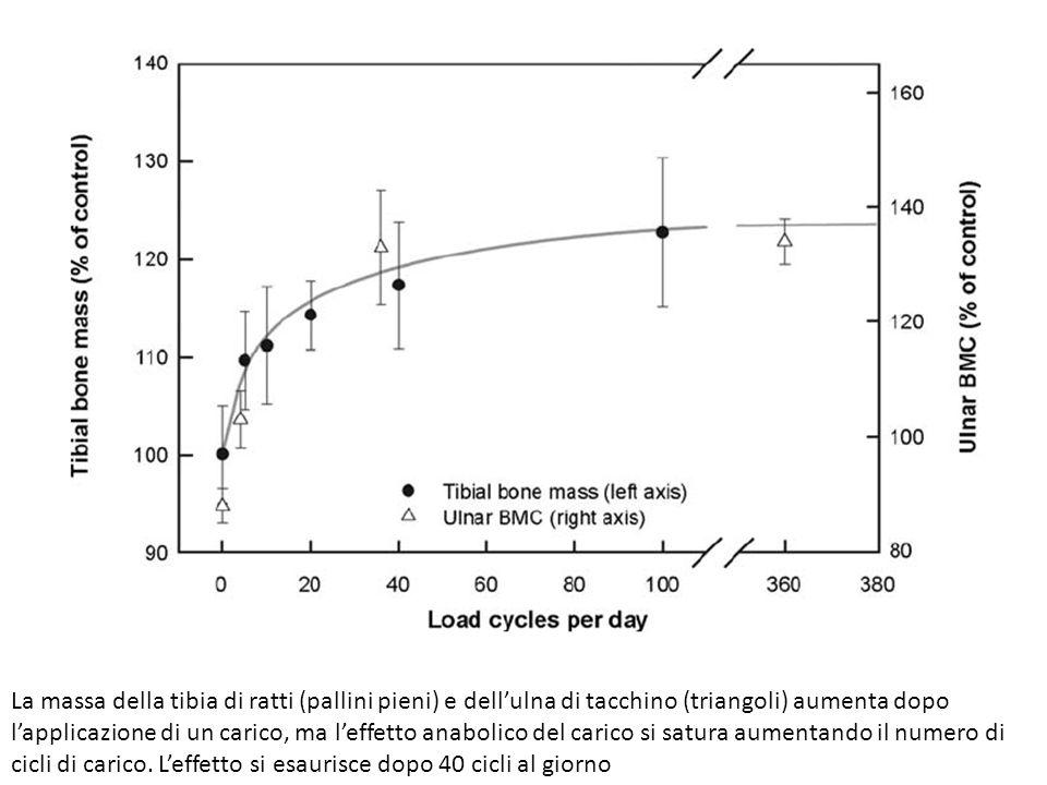 La massa della tibia di ratti (pallini pieni) e dell'ulna di tacchino (triangoli) aumenta dopo l'applicazione di un carico, ma l'effetto anabolico del carico si satura aumentando il numero di cicli di carico.