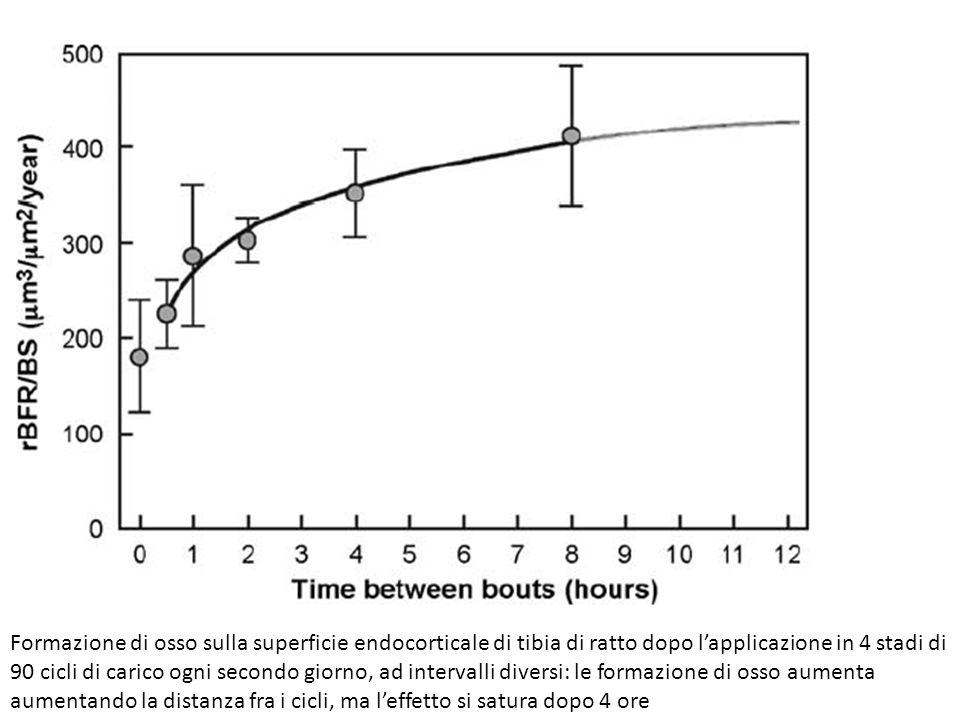 Formazione di osso sulla superficie endocorticale di tibia di ratto dopo l'applicazione in 4 stadi di 90 cicli di carico ogni secondo giorno, ad intervalli diversi: le formazione di osso aumenta aumentando la distanza fra i cicli, ma l'effetto si satura dopo 4 ore