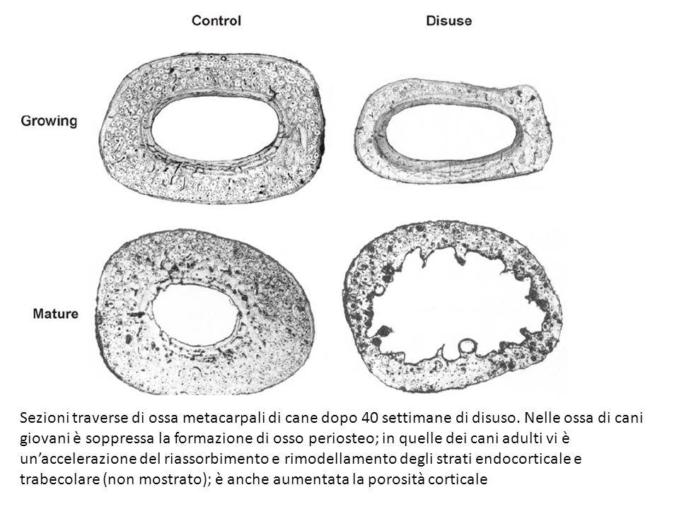 Sezioni traverse di ossa metacarpali di cane dopo 40 settimane di disuso.