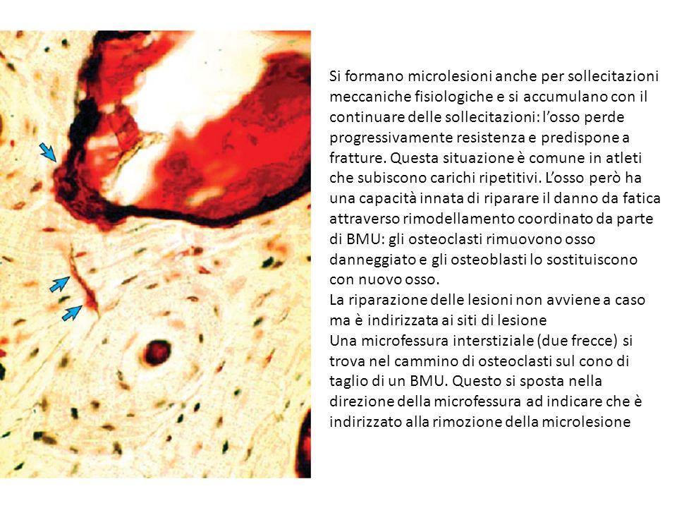 Si formano microlesioni anche per sollecitazioni meccaniche fisiologiche e si accumulano con il continuare delle sollecitazioni: l'osso perde progressivamente resistenza e predispone a fratture. Questa situazione è comune in atleti che subiscono carichi ripetitivi. L'osso però ha una capacità innata di riparare il danno da fatica attraverso rimodellamento coordinato da parte di BMU: gli osteoclasti rimuovono osso danneggiato e gli osteoblasti lo sostituiscono con nuovo osso.