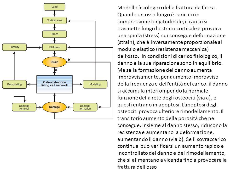 Modello fisiologico della frattura da fatica