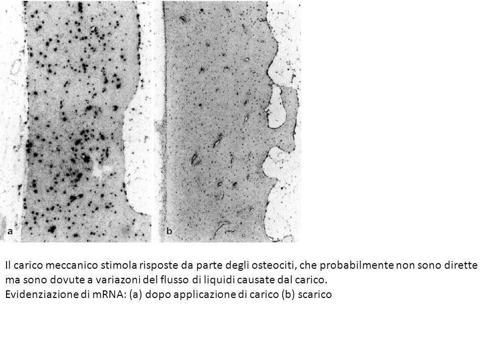 Il carico meccanico stimola risposte da parte degli osteociti, che probabilmente non sono dirette ma sono dovute a variazoni del flusso di liquidi causate dal carico.